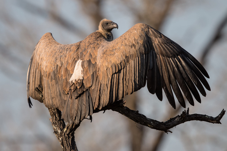 White backed Vulture spreading its wings in Kruger National Park
