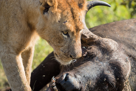 Young Male Lion feeding on a dead buffalo carcass in Kruger National Park Stock fotó
