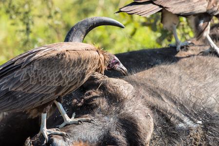 carcass: Gieren eten van een Buffalo Karkas in Kruger National Park Stockfoto