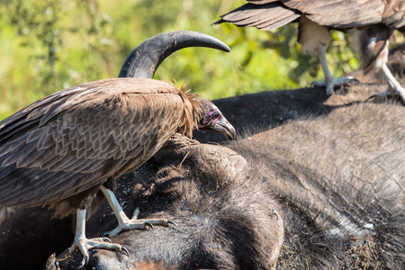 kruger: Vultures Feeding on a Buffalo Carcass in Kruger National Park