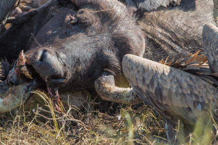 adult kenya: Vultures Feeding on a Buffalo Carcass in Kruger National Park