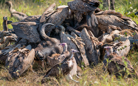 carcass meat: Vultures Feeding on a Buffalo Carcass in Kruger National Park