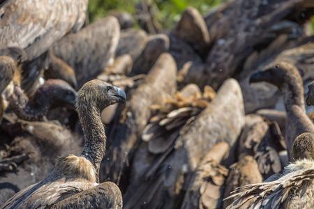karkas: Gieren eten van een Buffalo Karkas in Kruger National Park Stockfoto