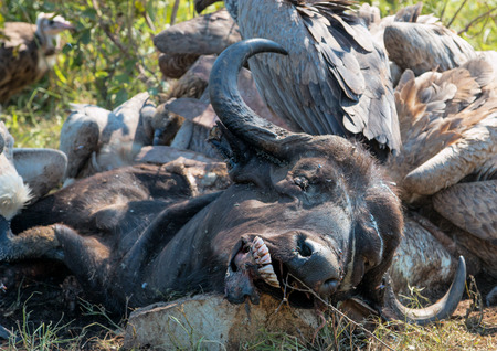 Vultures Feeding on a Buffalo Carcass in Kruger National Park