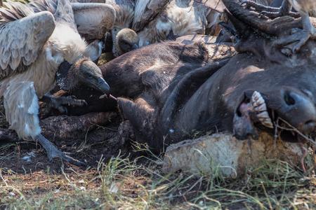 carcass: Vultures Feeding on a Buffalo Carcass in Kruger National Park
