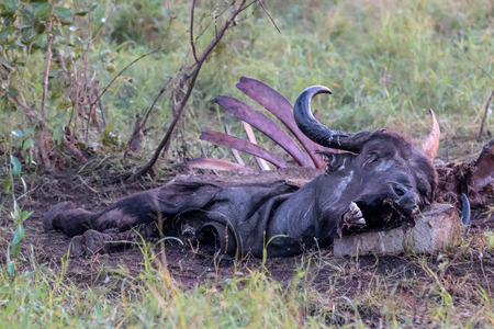 lappet: The remains of a Buffalo Carcass in Kruger National Park after lions and vultures finished feeding on it