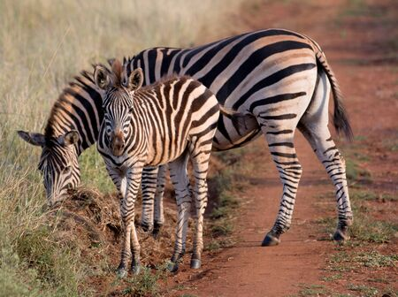 Mommy and Baby Zebra walk along a road in Kruger National Park photo