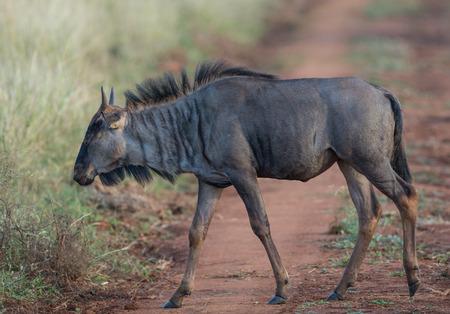 Wildebeest walking through a field in Kruger National Park Stock fotó - 38285879