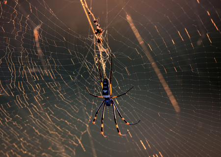 Golden Orb Spider in its web in Kruger National Park Stock fotó - 38285880