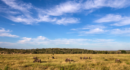 Small herd of Wildebeest walking through a field in Kruger National Park Stock fotó