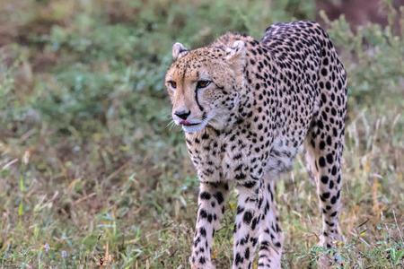 Cheetah stalking in Kruger National Park, South Africa Stock fotó