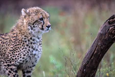 kruger national park: Stalking Baby Cheetah in Kruger National Park, South Africa