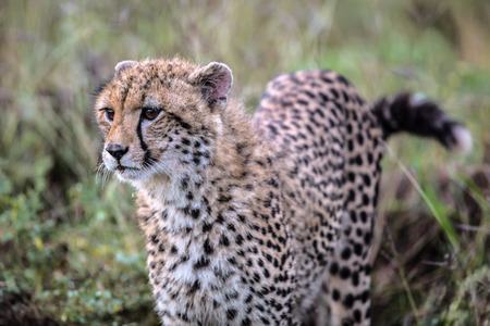 Stalking Baby Cheetah in Kruger National Park, South Africa