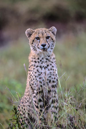 Baby Cheetah Posing in Kruger National Park, South Africa Stock fotó