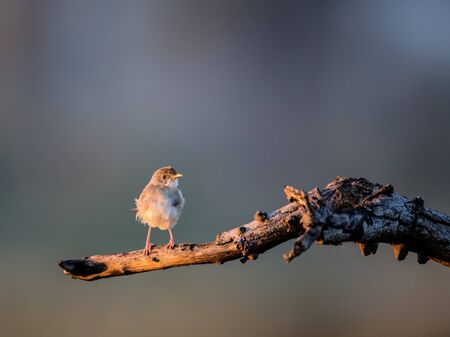 kruger: African Pipit perched in a tree in Kruger National Park