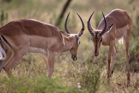 kruger national park: A couple of Impalas fighting in Kruger National Park