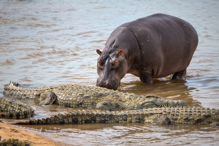basking: Hippopotamus walking up to a Group of Crocodiles Basking in the Sun in Kruger National Park Stock Photo