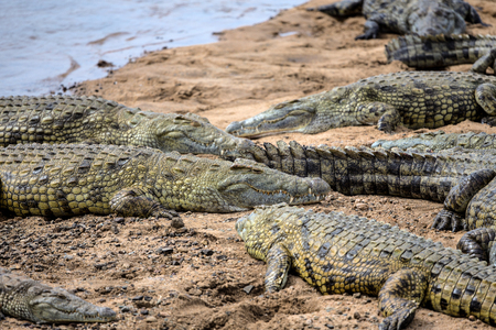 A group of Crocodiles Basking in the Sun in Kruger National Park