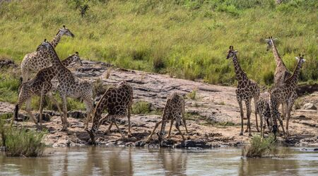 kruger national park: Small herd of Giraffes drinking water in Kruger National Park