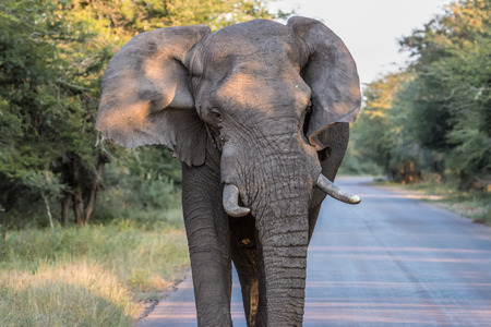 An Elephant charges our game vehicle in Kruger National Park