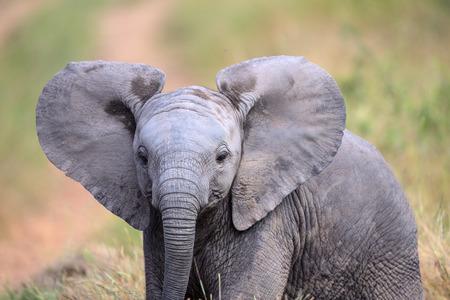 Leuke Baby van de Olifant in Kruger National Park Stockfoto
