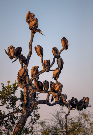 Silhouette of White Backed Vultures Perched in a Tree in Kruger National Park Stock fotó