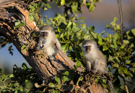 Cute Baby Vervet Monkeys sitting on a tree branch in Kruger National Park, South Africa