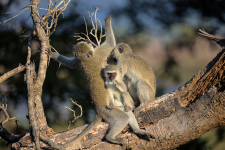 Family of Vervet Monkeys in Kruger National Park, South Africa