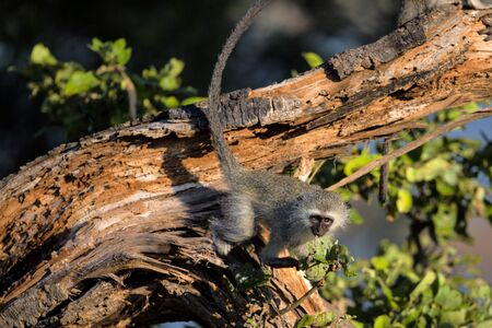 Cute Baby Vervet Monkey sitting on a tree branch in Kruger National Park, South Africa
