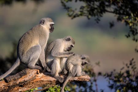 Family of Vervet Monkeys in Kruger National Park, South Africa