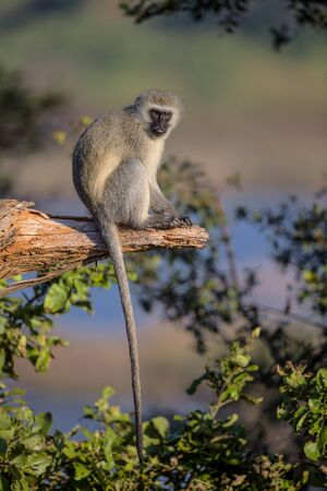 kruger national park: Vervet Monkey sitting on a tree branch in Kruger National Park, South Africa Stock Photo