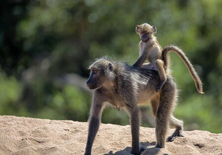 Baby Baboon sits on Mommy\\\\\\\\