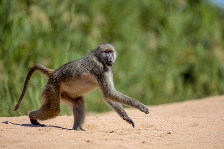 kruger: Baboon runs across the sand in Kruger National Park Stock Photo