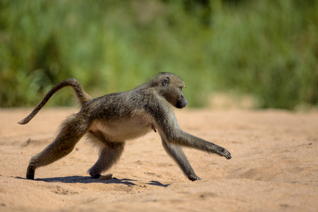 Baboon runs across the sand in Kruger National Park Stock fotó