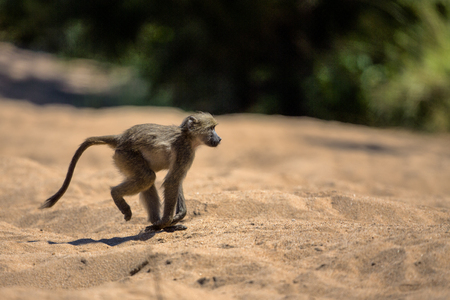 Baby Baboon runs across the sand in Kruger National Park