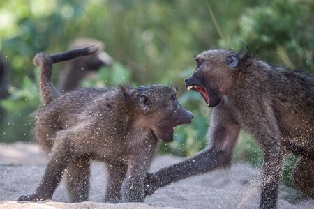 kruger national park: Two Baboons fighting in Kruger National Park