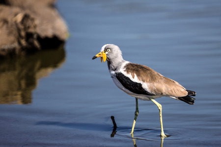 lapwing: African Wattled Lapwing in Kruger National Park