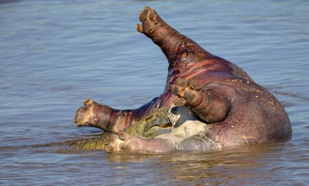 kruger national park: Crocodiles eats a Hippopotamus Carcass in Kruger National Park Stock Photo