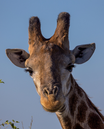 Portrait of a Giraffe in Kruger National Park