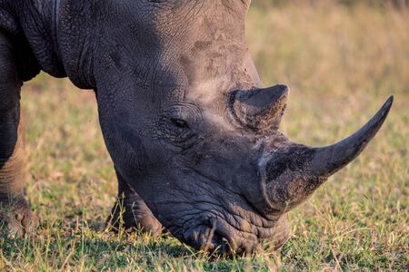 Portrait of a White Rhino in late day sun in Kruger National Park Stock fotó