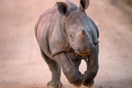 nashorn: Lade Baby-White Rhino in Kruger National Park