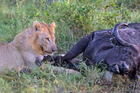 carcass: Jonge Mannelijke Leeuw voeden met dode buffel karkas in Kruger National Park