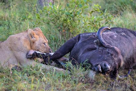 karkas: Jonge Mannelijke Leeuw voeden met dode buffel karkas in Kruger National Park