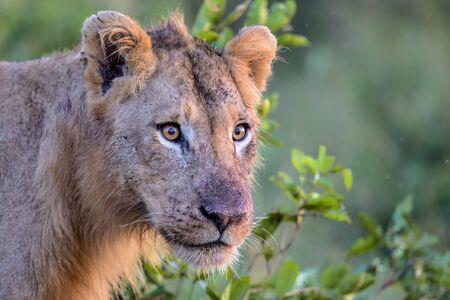 Young Male Lion stalks prey in Kruger National Park photo