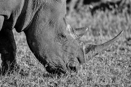 Black and White Portrait of a White Rhino in late day sun in Kruger National Park Stock fotó