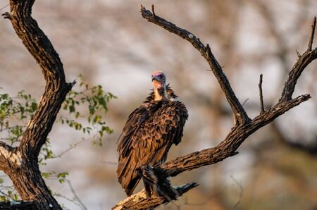 adult kenya: White backed Vulture on the lookout in Kruger National Park