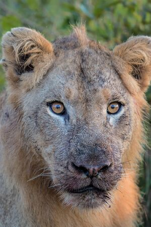 Portrait of a Young Male Lion in Kruger National Park Stock fotó