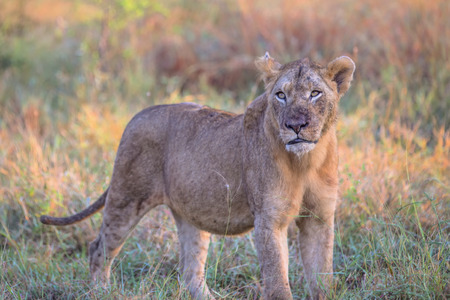 Young Male Lion stalks prey in Kruger National Park Stock fotó