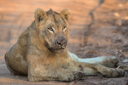 Young Male Lion rests in the middle of the road in Kruger National Park