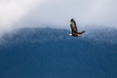 Soaring Bald Eagle near Harrison British Columbia